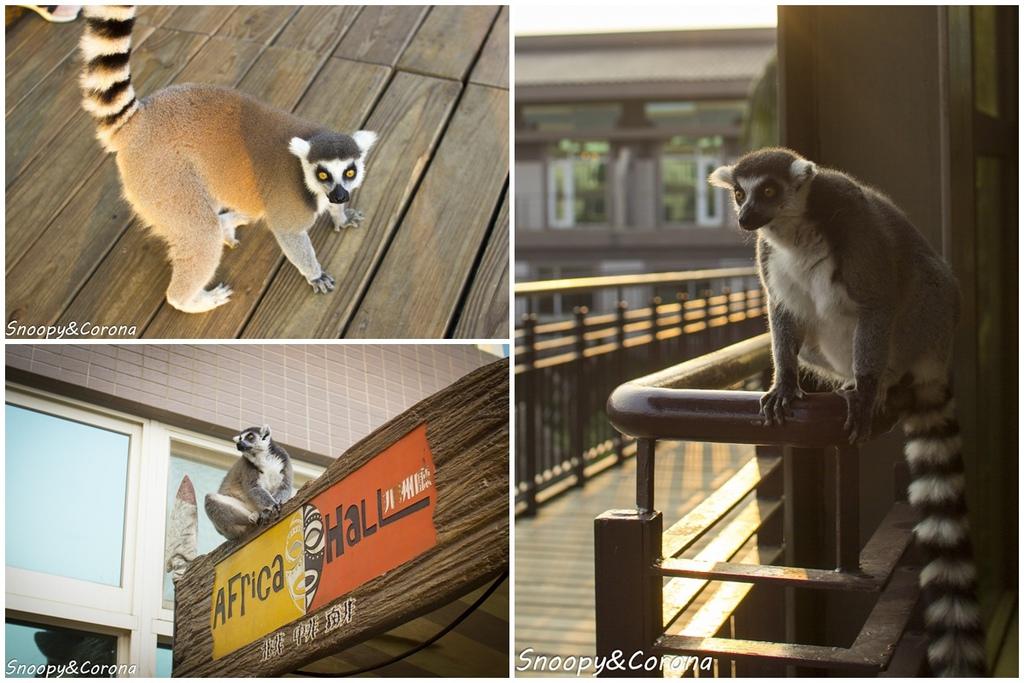 環尾狐猴.jpg